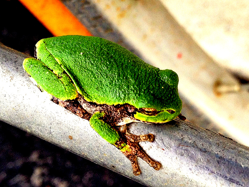 Frog Peugot-002.JPG