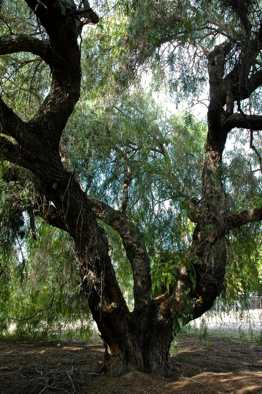 pepper tree.jpg