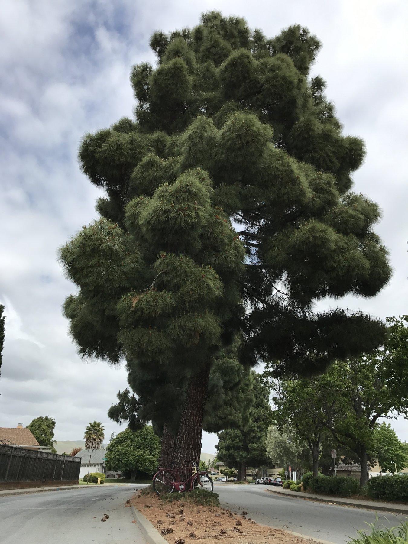 pine 5-6-17.JPG