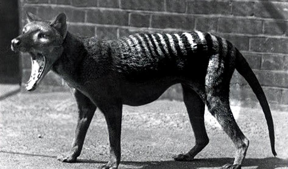 tasmaniantiger.jpg